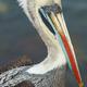 Peruvian Pelican - PhotoDune Item for Sale