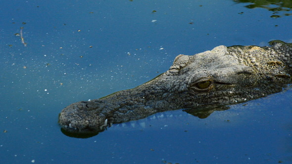 Crocodile Swimming in Nature Park