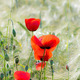 Poppies in a Corn Field - PhotoDune Item for Sale