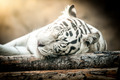 White Tiger Lying Down - PhotoDune Item for Sale