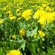 Dandelion Field - VideoHive Item for Sale