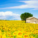 sunflower field over cloudy blue sky - PhotoDune Item for Sale