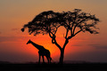 Silhouetted tree and giraffe - PhotoDune Item for Sale