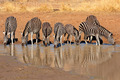 Plains Zebras drinking water - PhotoDune Item for Sale