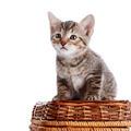 Striped kitten on a basket. - PhotoDune Item for Sale