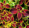 beautiful background of red geranium leaves - PhotoDune Item for Sale