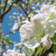 Blooming Apple Tree 2 - VideoHive Item for Sale