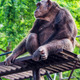 Chimpanzee in the zoo - PhotoDune Item for Sale