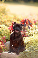 Staffordshire bull terrier. - PhotoDune Item for Sale