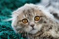 Scottish Fold kitten - PhotoDune Item for Sale
