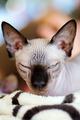 Sphynx cat - PhotoDune Item for Sale
