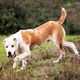 alabai dog in fall meadows - PhotoDune Item for Sale