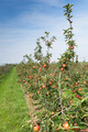 apple trees loaded with apples in an orchard in summer - PhotoDune Item for Sale
