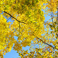 yellow autumn leaves on background blue sky - PhotoDune Item for Sale