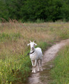 White goat on meadow - PhotoDune Item for Sale