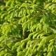 Pine Tree - PhotoDune Item for Sale