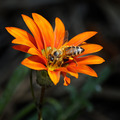 bee on a beautiful flower - PhotoDune Item for Sale