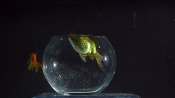 Goldfish Swimming out of the Aquarium