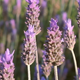 Lavender Field - VideoHive Item for Sale