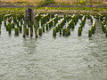 Abandoned Algae Covered Pier Logs with Sea Gulls - PhotoDune Item for Sale