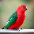 King Parrot - PhotoDune Item for Sale