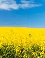 Canola Field - PhotoDune Item for Sale