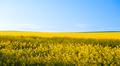 Canola Field - PhotoDune Item for Sale