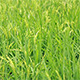 Paddy Field 6 - VideoHive Item for Sale