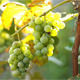 Grapes Growing in a Vineyard  - VideoHive Item for Sale