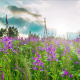 Fireweed  At Sunset - VideoHive Item for Sale