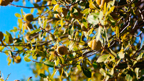Green Acorns On A Tree