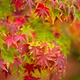 Maple tree close up in Fall - PhotoDune Item for Sale