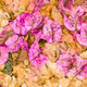 Fallen leaves and flowers of Bouganvillea - PhotoDune Item for Sale