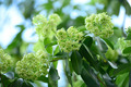 Alstonia scholaris - PhotoDune Item for Sale