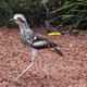 Bush Stone-curlew - PhotoDune Item for Sale