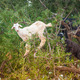 Morrocan goats in the field - PhotoDune Item for Sale