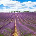 Beautiful lavender field - PhotoDune Item for Sale