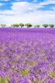 Vertical view of beautiful lavender field - PhotoDune Item for Sale