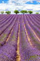 Vertical view of lavender field with cloudy sky - PhotoDune Item for Sale