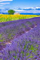 Beautiful landscape with sunflower and lavender field - PhotoDune Item for Sale