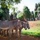 3 zebras standing together - PhotoDune Item for Sale