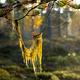 straw beard lichen - PhotoDune Item for Sale