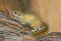 Tree squirrel - PhotoDune Item for Sale