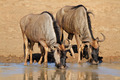 Wildebeest drinking water - PhotoDune Item for Sale