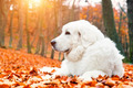 Cute white puppy dog lying in leaves in autumn, fall forest. - PhotoDune Item for Sale