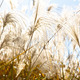 Field Grass Blowing in the Wind - PhotoDune Item for Sale
