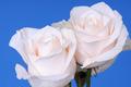 White Roses - PhotoDune Item for Sale