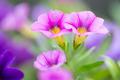 Closeup of colorful Petunia (Solanaceae) - PhotoDune Item for Sale