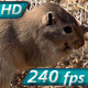 Gopher Drags Twig - VideoHive Item for Sale