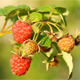 Red Raspberry - VideoHive Item for Sale